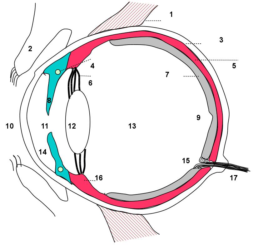 Ziemlich Auge Anatomie Wiki Bilder - Menschliche Anatomie Bilder ...
