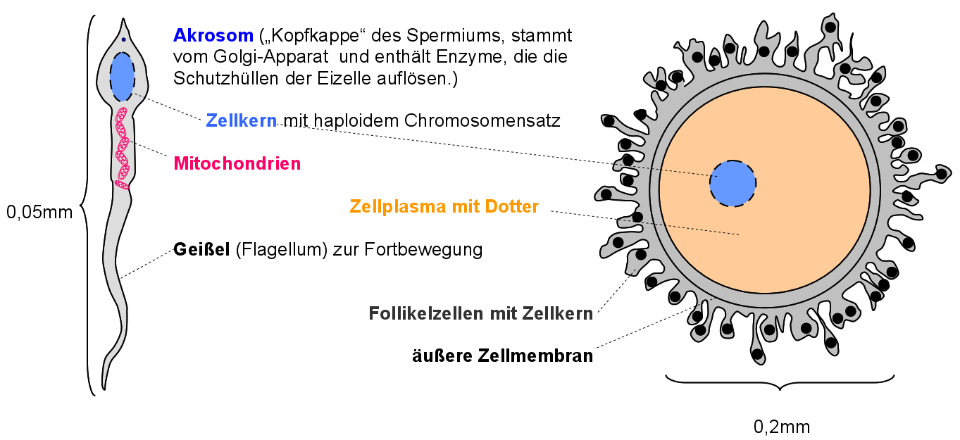 Eizelle Funktion