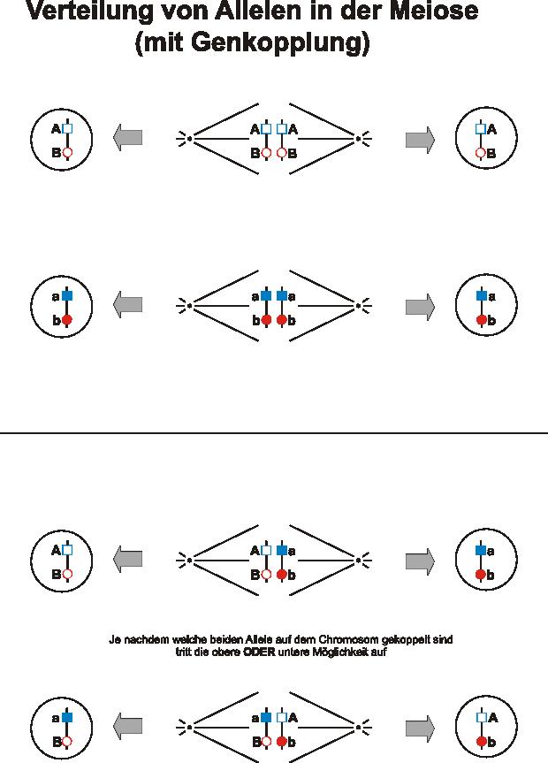 Freies Lehrbuch Biologie: 08.02 Zellzyklus, Mitose und Meiose als ...