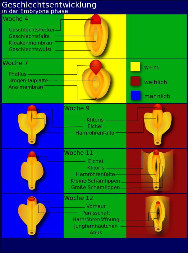 rückbildung der klitoris in den wechseljahren