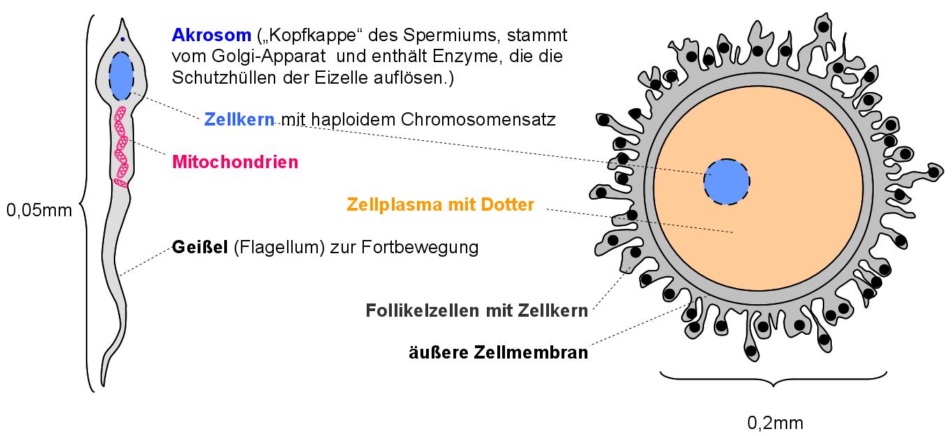 Eizelle Spermium