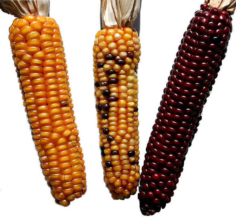 Transposons bei Zea mays (Mais)